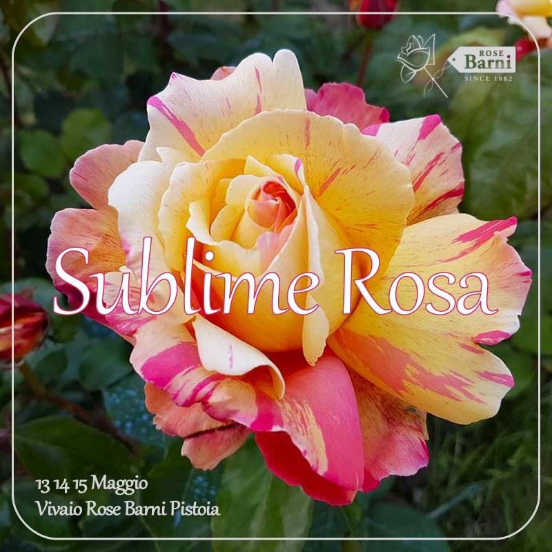 sublime rosa 2016 ok